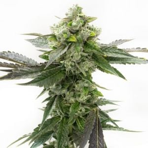 Critical Blue Feminized