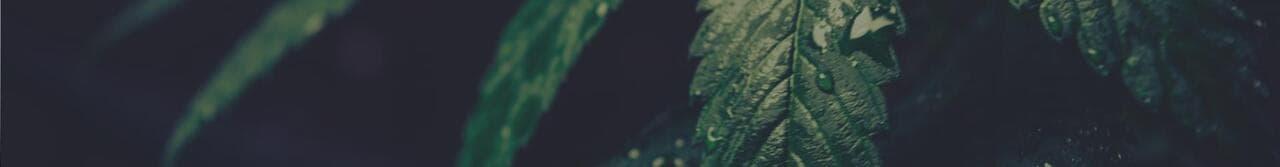 indoor marijuana seeds
