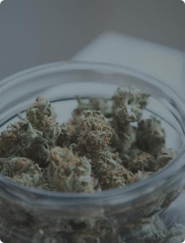 highest yielding marijuana