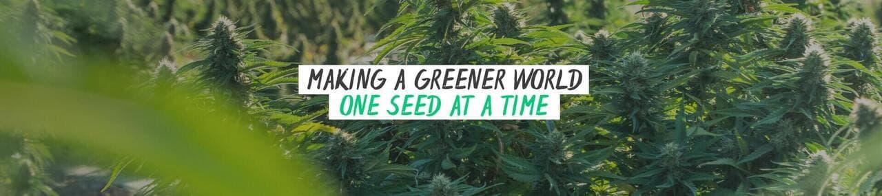 homegrown cannabis