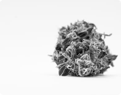 Bud feminized cannabis seeds