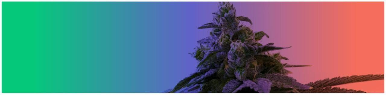 marijuana seeds mixpacks