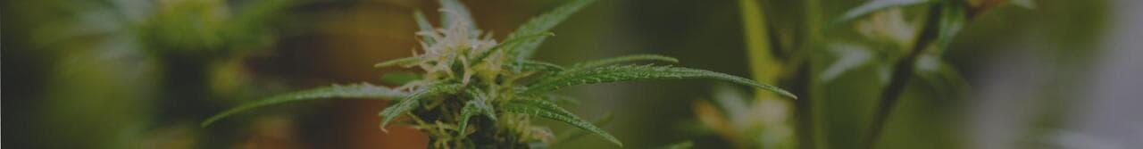 regular marijuana seeds
