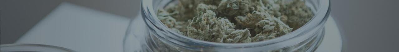 marijuana plant yield